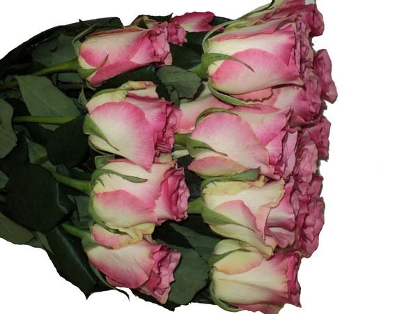Роза малибу фото описание отзывы фото