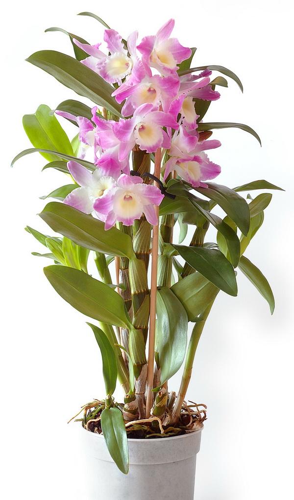 Орхидеи дендробиум уход за ними в домашних условиях