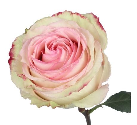 Роза эсперансо 80 90 см эквадор