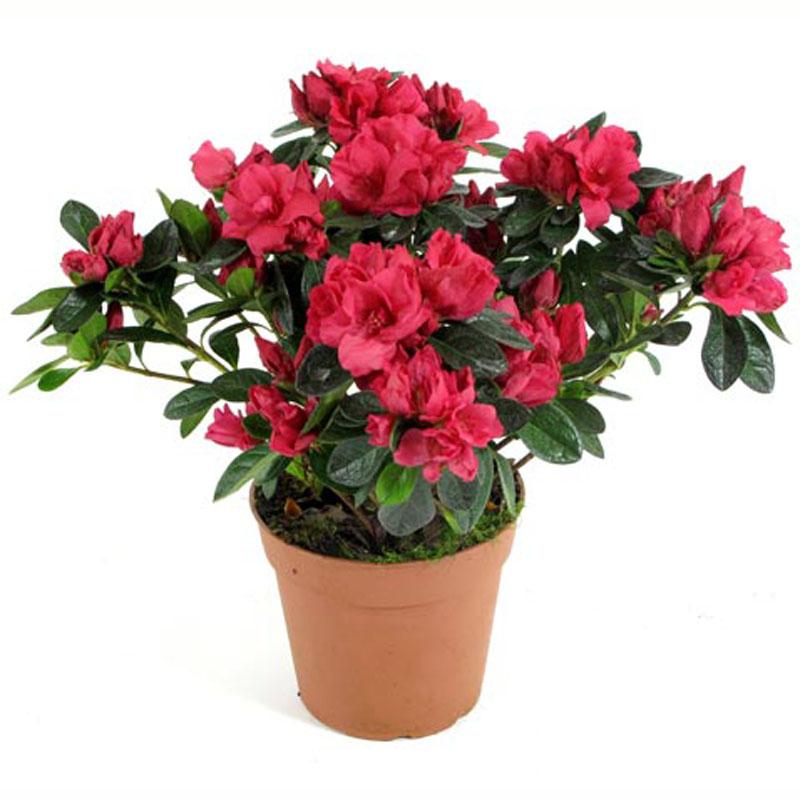 Цветок азалия цена и фото